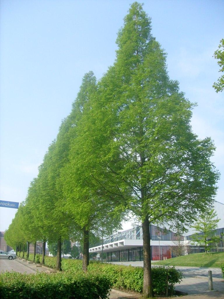 Bomen Metasequoia